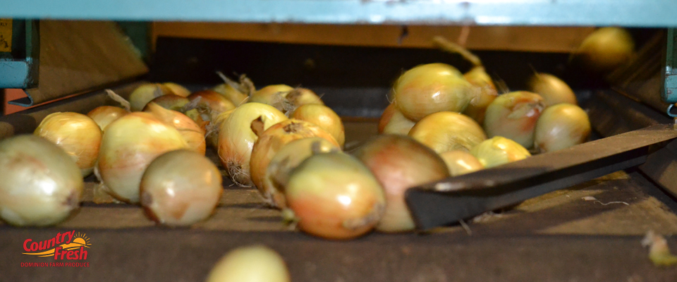 Sorting Country Fresh Brand Onions